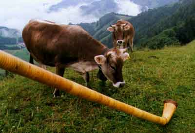 Swiss Cows Express Admiration for the Alphorn